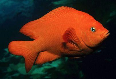 Garibaldi-Adult-fazio